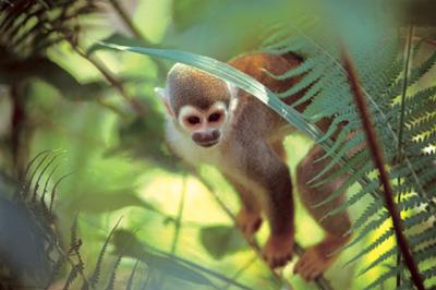 http://www.curanderos.ru/selva/sacha_monkey.jpg